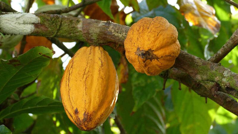 boabele-de-cacao